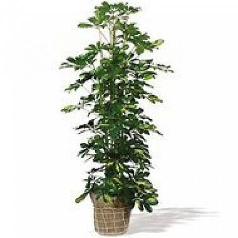 Un Toque de Naturaleza: planta schefflera