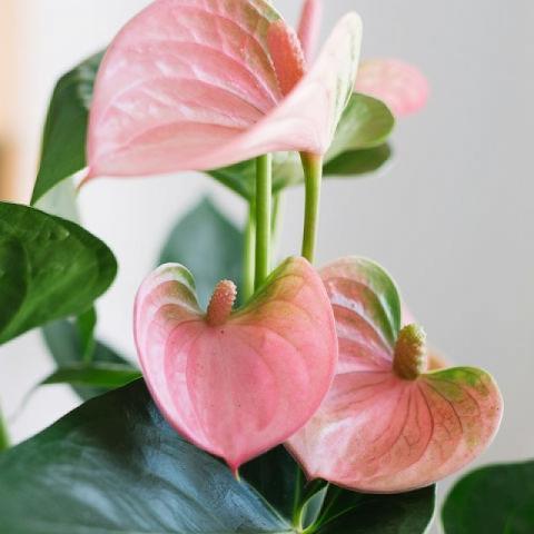 Lueur Rose: Anthurium Rose