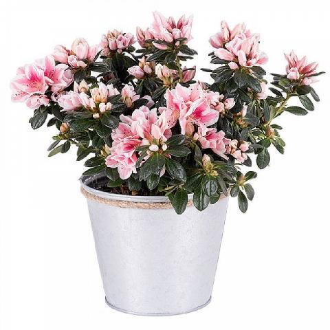 Just for Mom: Pink Azalea