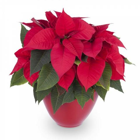 Red Passion: Poinsettia
