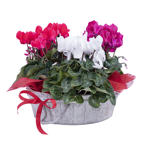 Lutins : Cyclamens multicolores